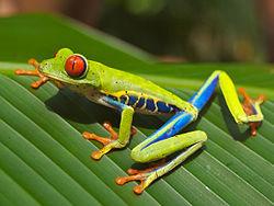 Red_eyed_tree_frog_edit2