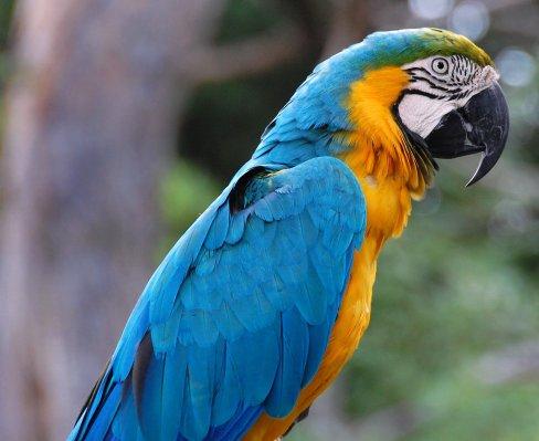 Ara_ararauna_-Alabama_Zoo-6