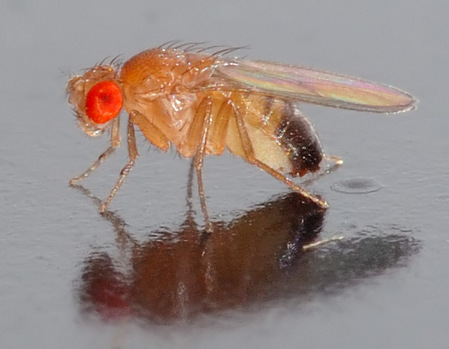 2012-02-23-xl--Drosophila_melanogaster_-_side_aka