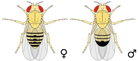 450px-Biology_Illustration_Animals_Insects_Drosophila_melanogaster.svg