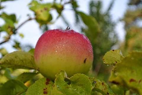 äpplen och hos Christel 012