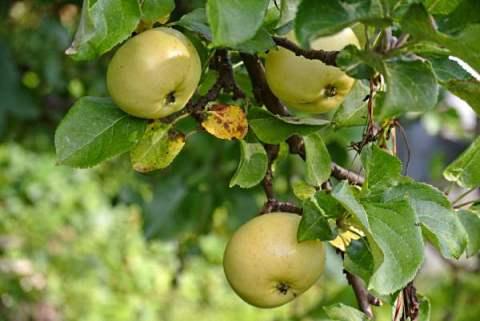 äpplen och hos Christel 022