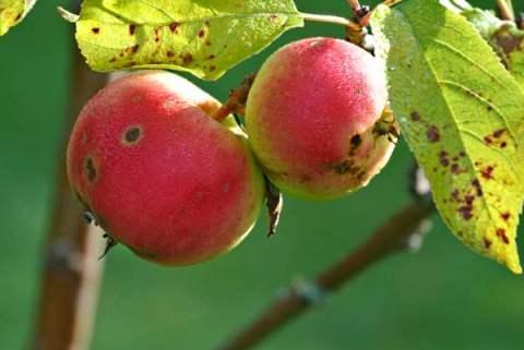 äpplen och hos Christel 024